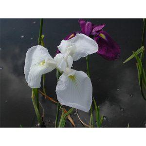 Iris ensata kaempferi (Japansk iris)