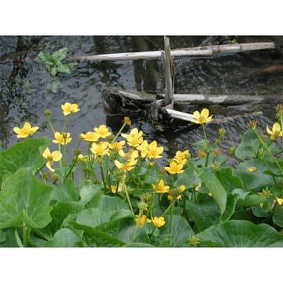 Kabbelekan blommar tidigt i sumpzonen.