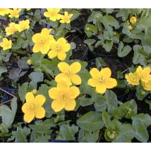 Caltha palustris (Kabbleka)