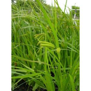 Carex pseudocyperus (Slokstarr)