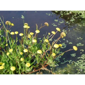 Cotola coronopifolia (Vattenkotula)