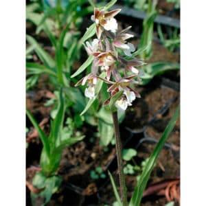 Epipactus palustris (Kärrknipprot)