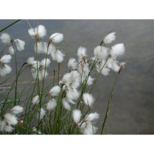Eriophorum angustifolium (Ängsull)