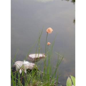 Eriphorum russeolum (Rostull)
