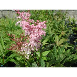 Filipendula rubra (Amerikanskt älggräs)