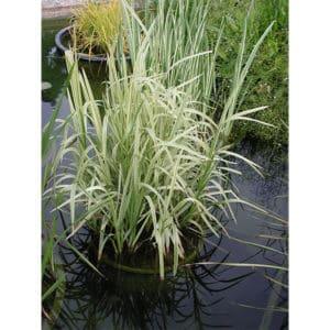 Glyceria maxima (Strimmigt jätteröe)