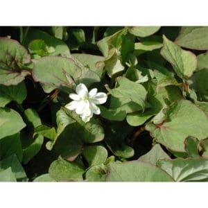 Houttuynia cordata (Ödleblad)