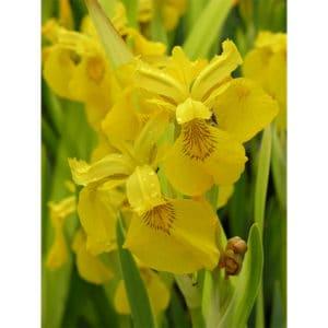 Iris pseudacorus (gul svärdslilja)