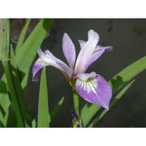 Iris versicolor (Brokiris)