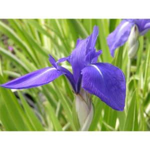 "Iris Laevigata ""Variegata"""