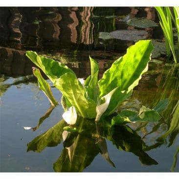 Vit skunkkalla får stora vita hölsterbald tidigt på våren. Vacker solitär som kan bli en meter hör.- Kan stå ner till 60 cm djup.