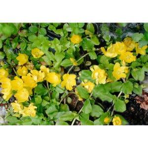Lysimachia vulgaris (Strandlysning)