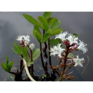 Menyanthes trifoliata (Vattenklöver)
