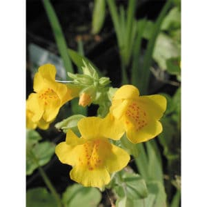 Mimulus Luteus (Gult gyckelblomster)