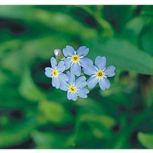 Myosotis palustris (Blå förgätmigej)