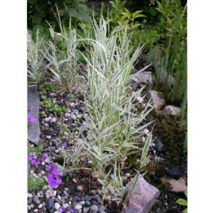 Phalaris arundinacea (Randgräs)
