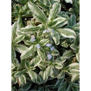 Myosotis Palustris Variegata