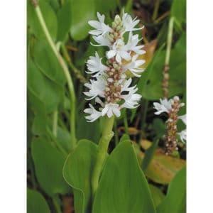 Pontoderia cordata (Vit pontederia)