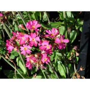 Primula japonica (Japansk viva)
