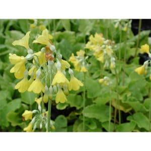 Primula florindae (Sommarviva)