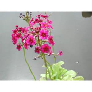 Primula rosea (Rosenviva)