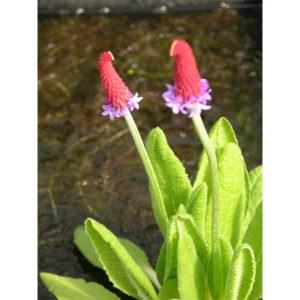 Primula vialii (Hyacintviva)