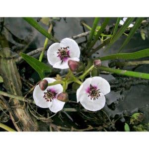 Sagittaria sagittifolia (Pilblad)