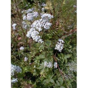 Valeriana officinalis (Läkevänderot)