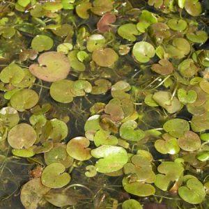 Hydrocharis morsus ranae    (Dyblad)