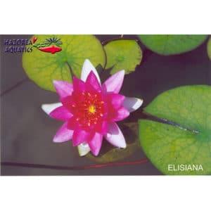 Nymphaea Ellisiana