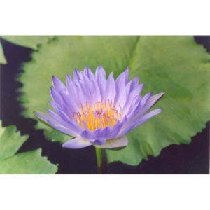 Tropiska näckrosor/lotus