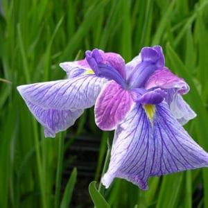 "Iris Louisiana""shikingo"""