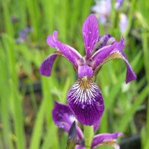 """Iris Versicolor Hybrid """"Gerald Derby"""""""