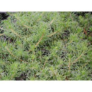 Myriophyllum proprium (Barrslinga)